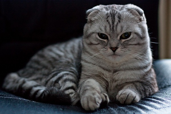 Cat Scottish Fold