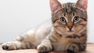 Feline distemper in cats: symptoms, treatment, vaccinations