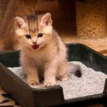 How to train a kitten to go to tray