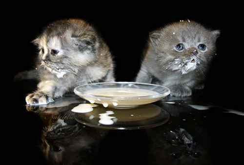 kittens eat yogurt