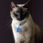Siamese cat names – best names for Siamese cats
